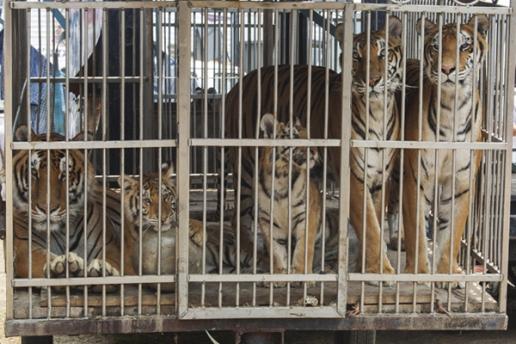cubs in circus 4