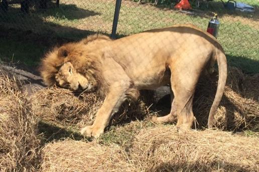 lion hay 9
