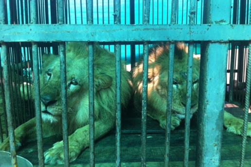 lions in circus cage 12