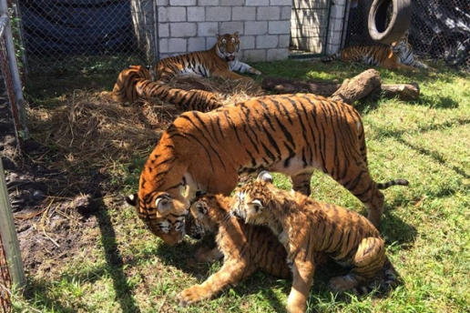 tiger cubs and mom 6